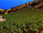 vinograd_i_more